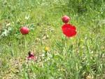 Amapolas de la primavera